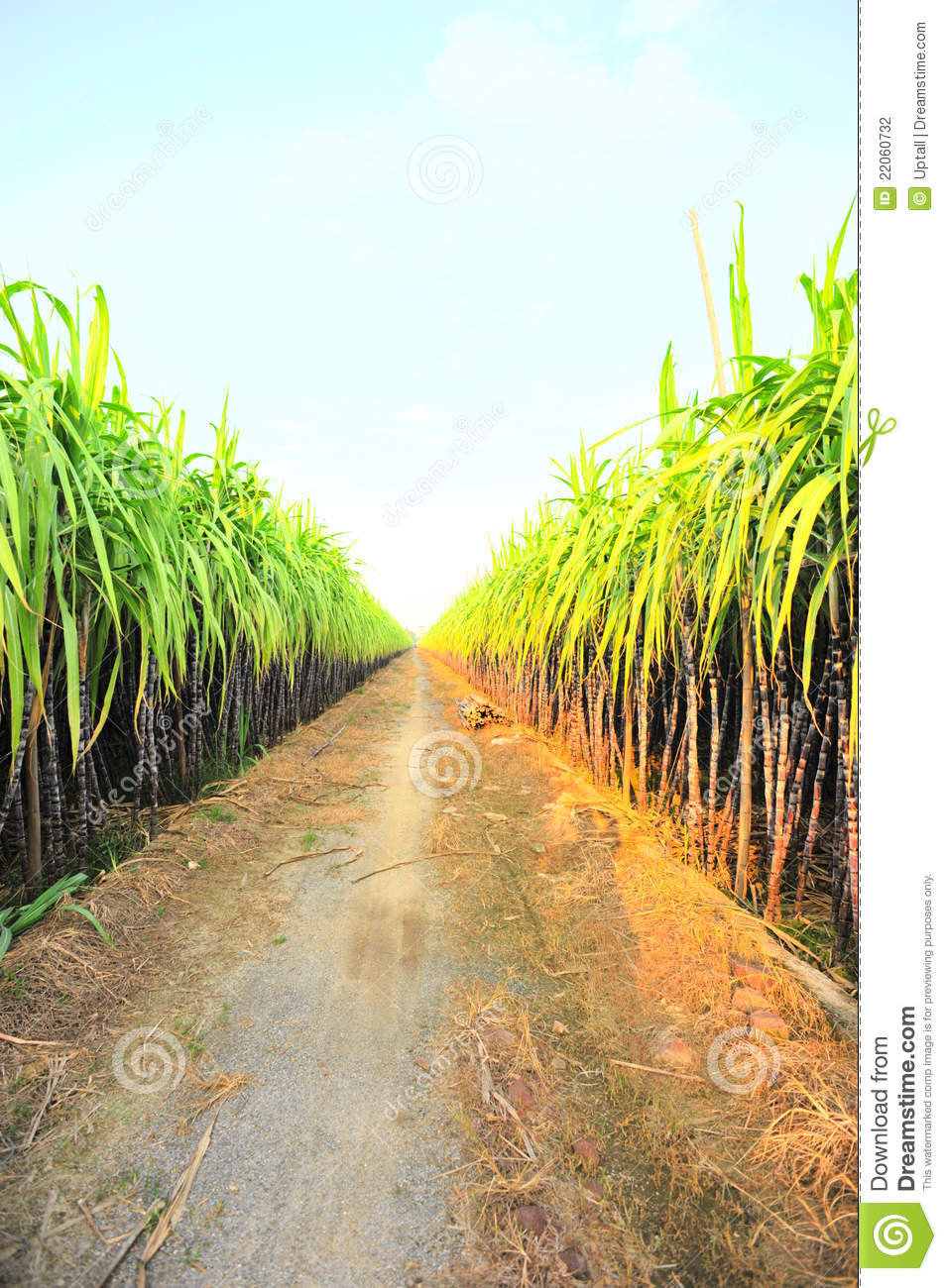 Black sugarcane farm