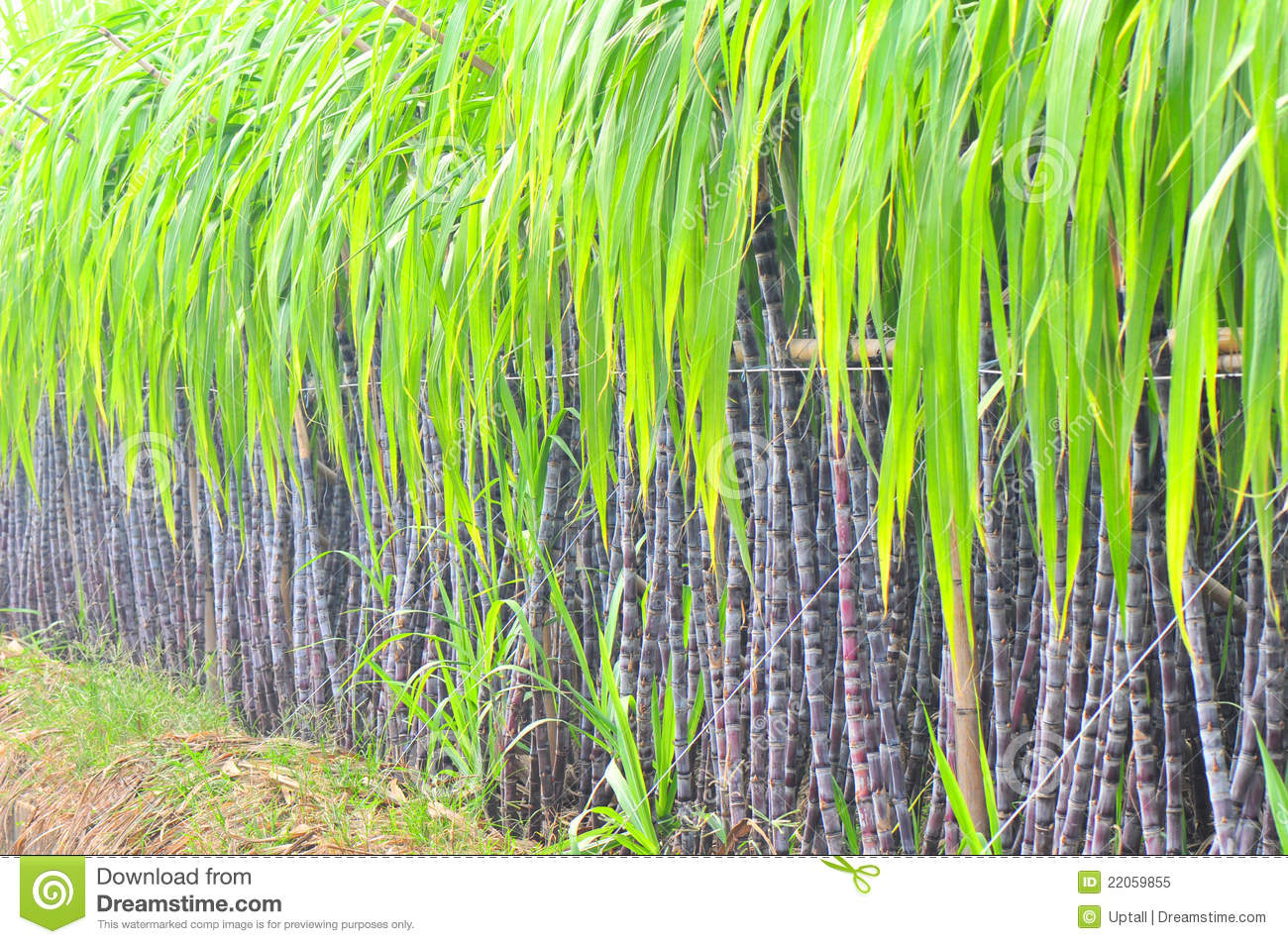 Black sugarcane plant row