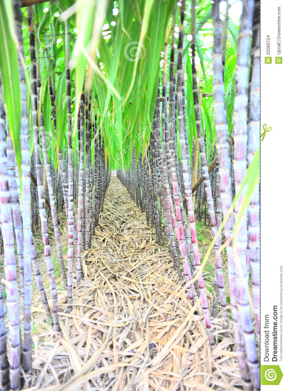 Black sugarcane rows