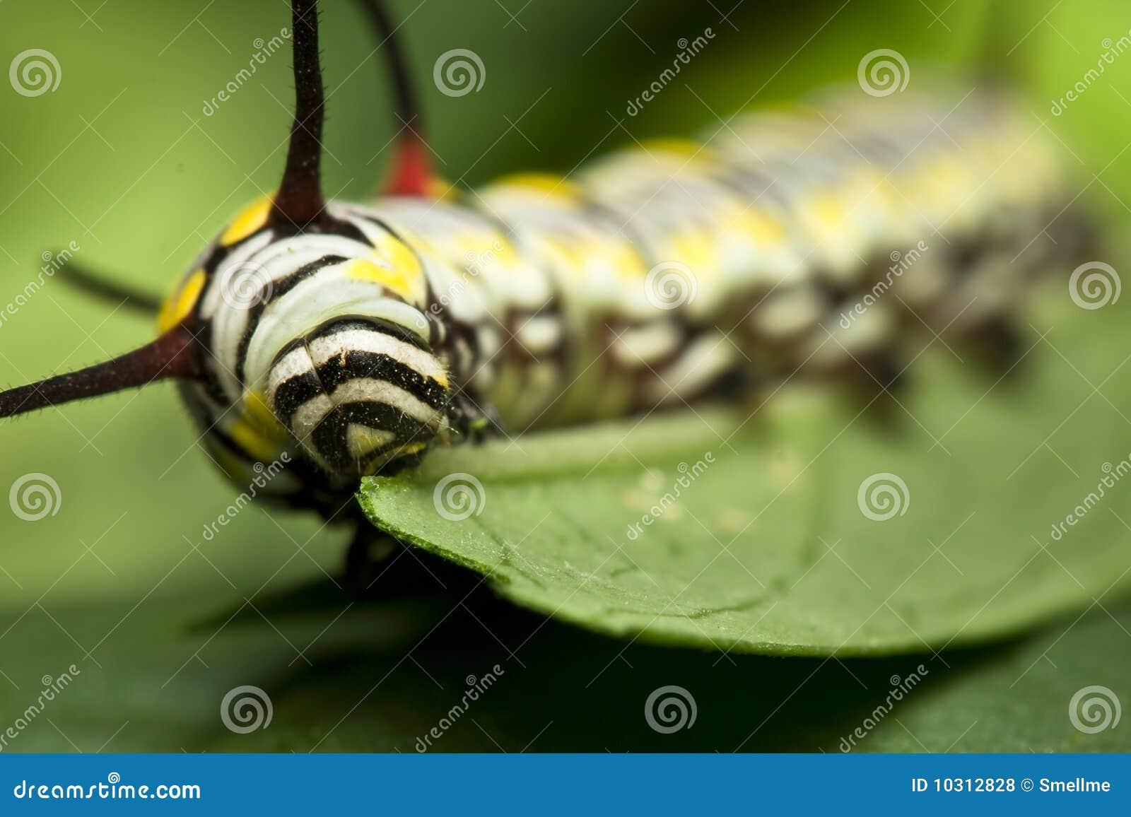 Black Swallowtail Caterpillar eating