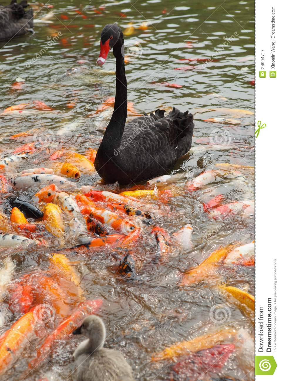 Black swan and koi royalty free stock photography image for All black koi fish
