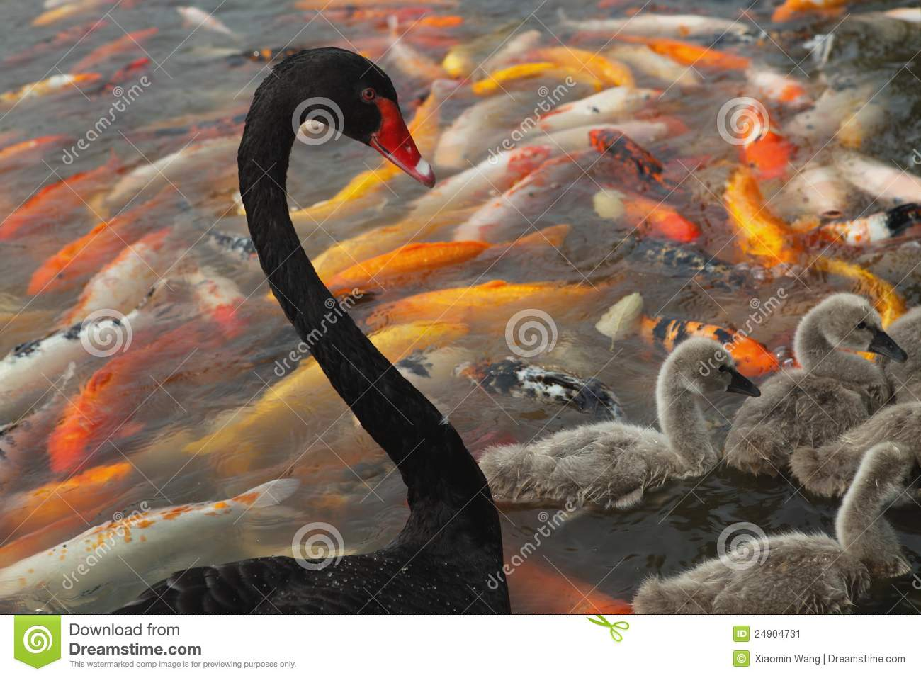 Black swan and koi stock image image 24904731 for All black koi fish