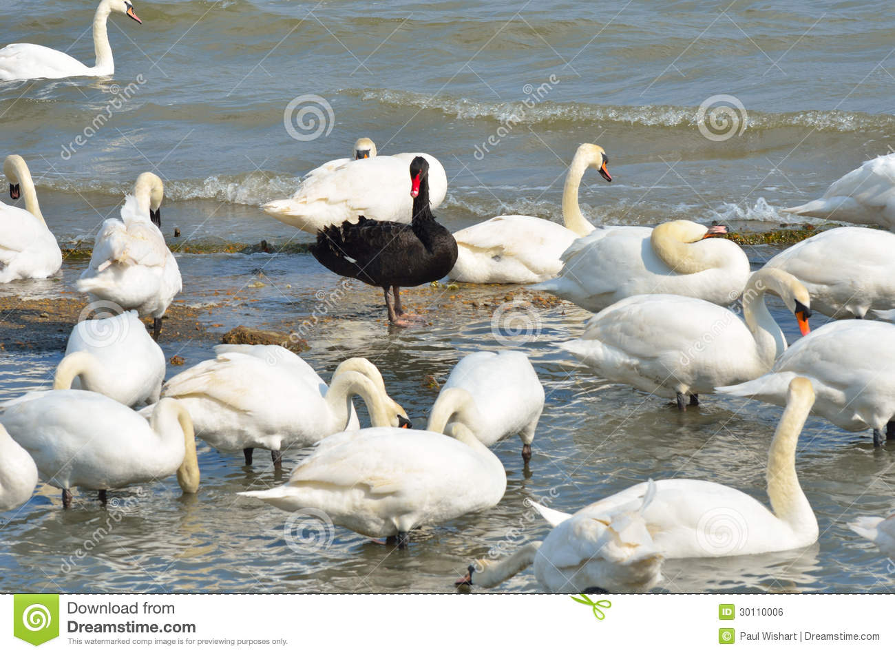 Download Black swan standing stock photo. Image of shore, swans - 30110006