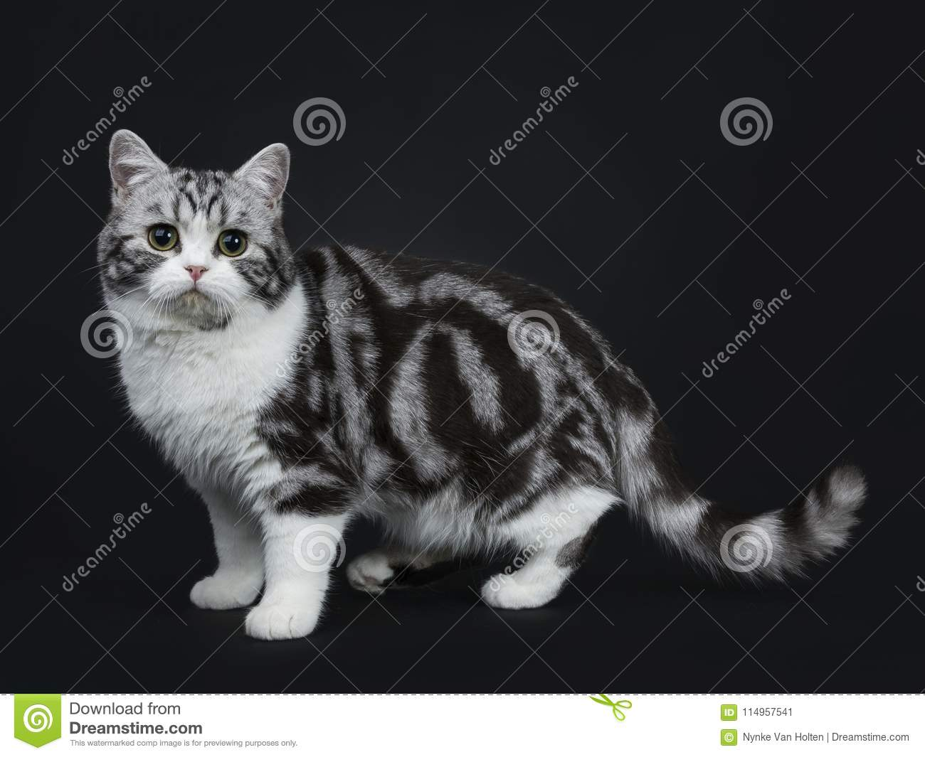 Adorable Black Silver Blotched Young British Shorthair Cat With Green Eyes Standing Side Ways And Looking Into Lens Isolated On Bl Stock Image Image Of Grey Isolated 114957541