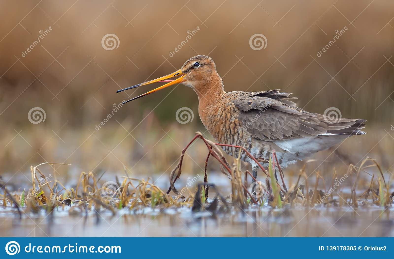 Black-tailed godwit feeds in shallow waters of small pool while calling or crying loudly