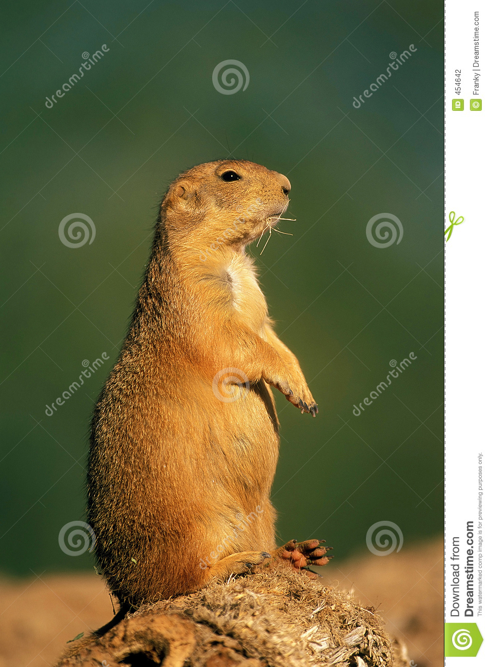 Download Black-tailed Prairie Dog stock photo. Image of sentinel - 454642