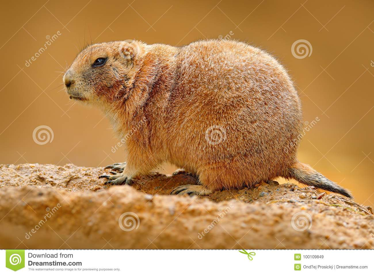 Black-tailed prairie dog, Cynomys ludovicianus, cute animal from rodent of family Sciuridae found in Great Plains, North America.