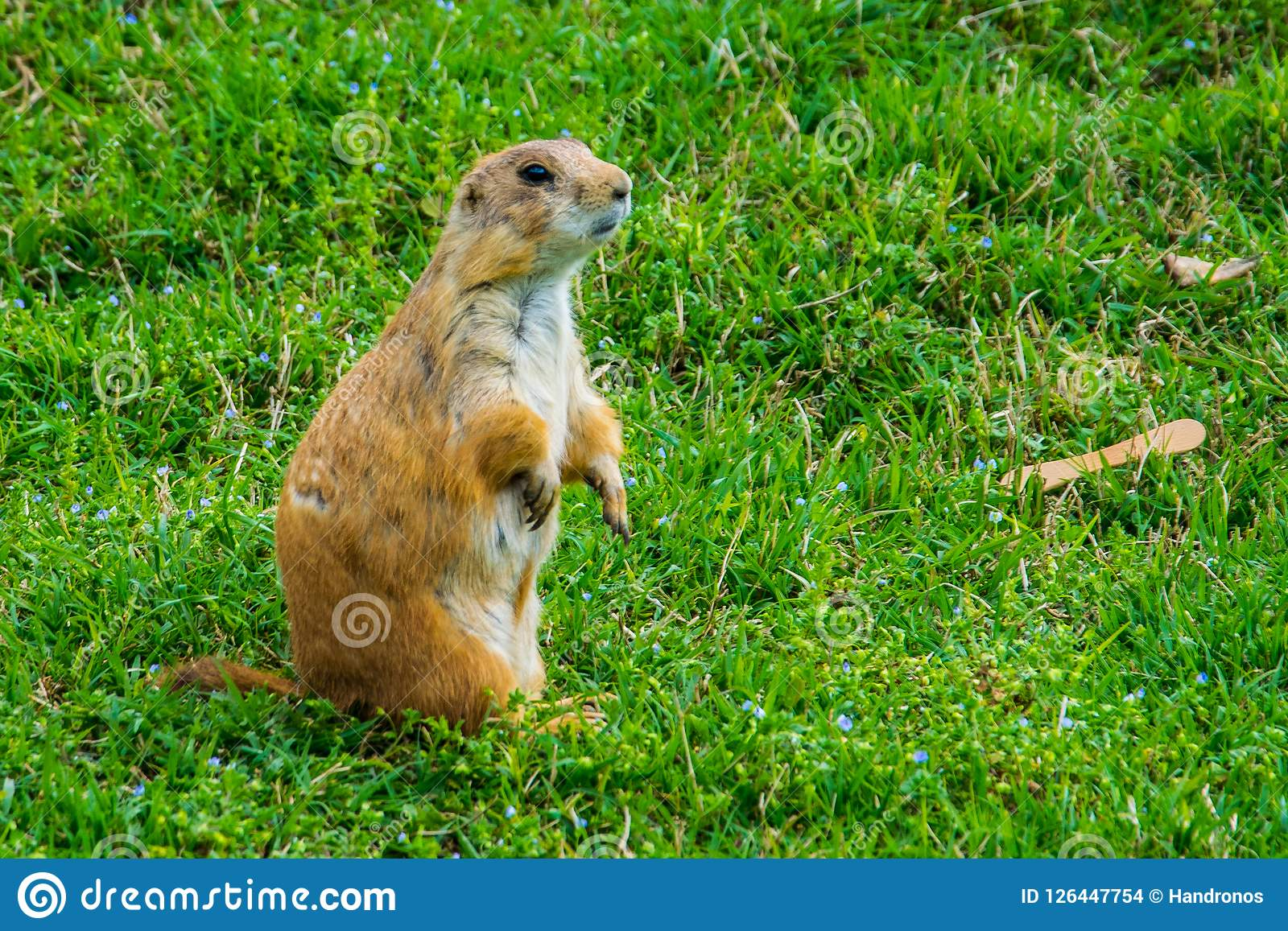 The black-tailed prairie dog is a rodent of the family Sciuridae found in the Great Plains of North America