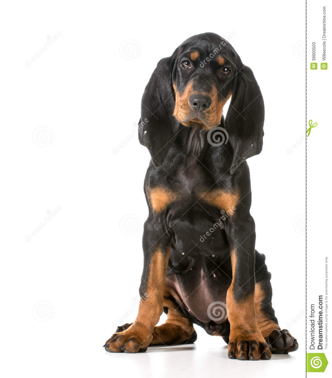 Black And Tan Coonhound Stock Photo - Image: 39900503