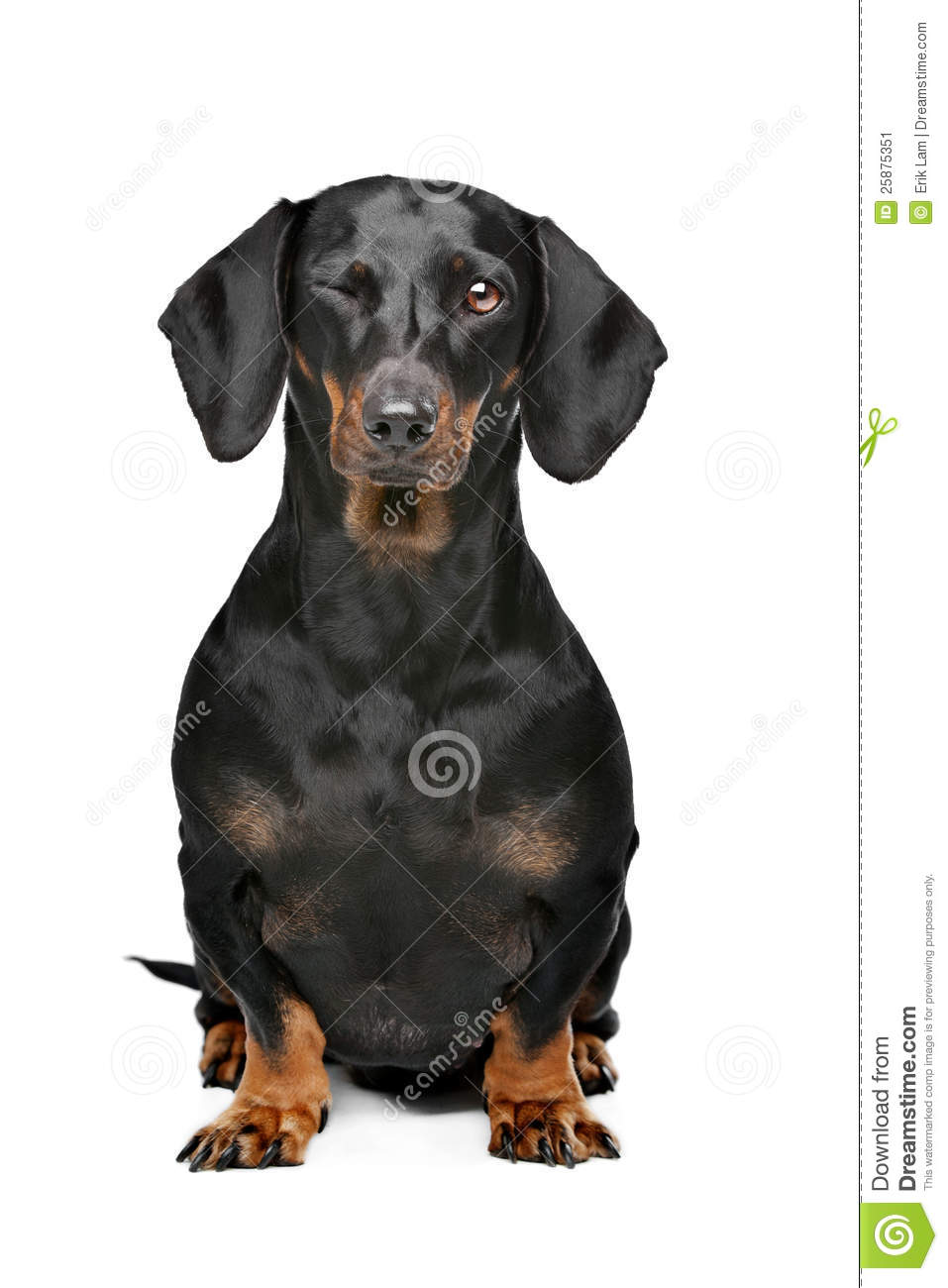 Black And Tan Dachshund Stock Image Image 25875351
