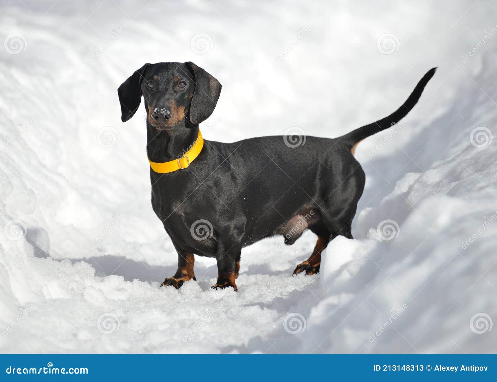 dachshunds z montażą)