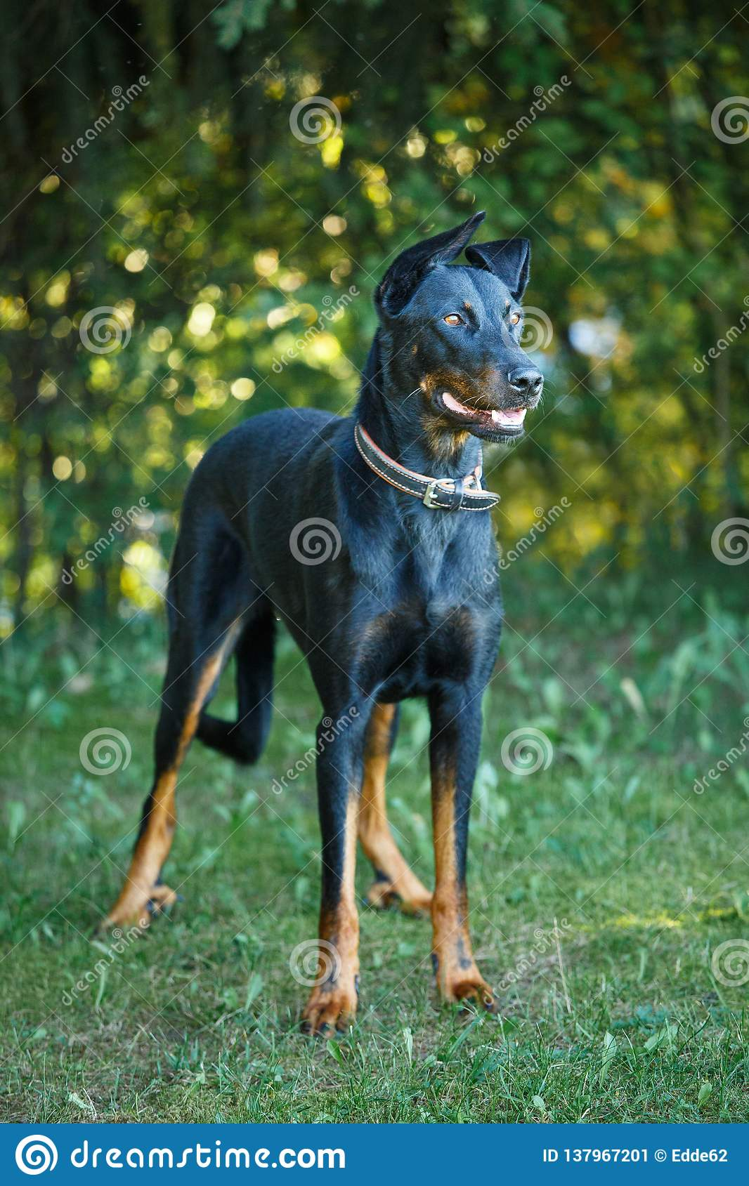 Black and tan Doberman pintcher standing outside