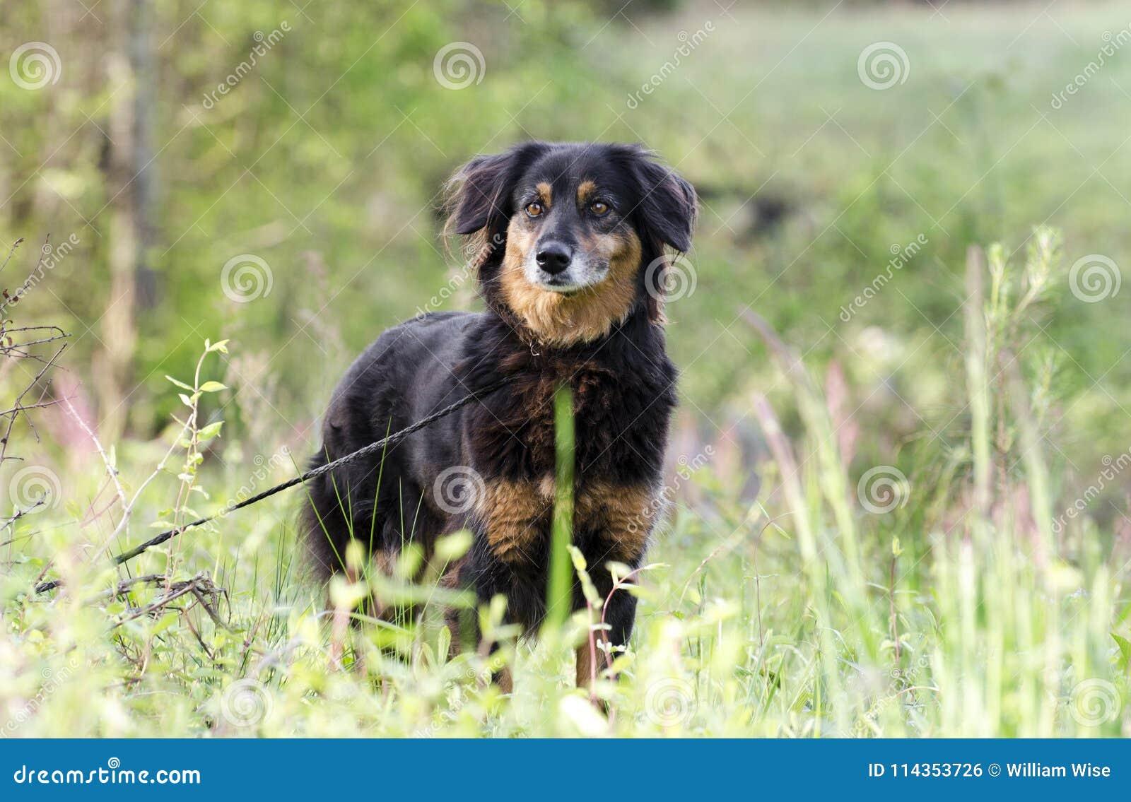 Aussie Setter Mix Dog, Pet Rescue Adoption Photography Stock