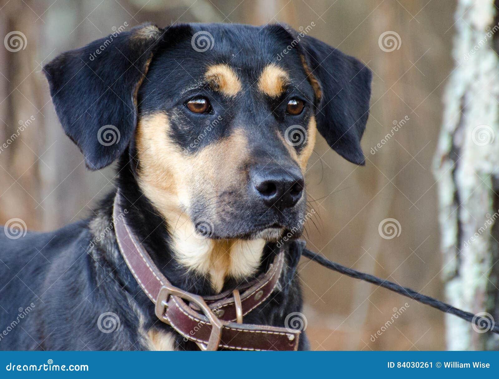shepherd hound mix
