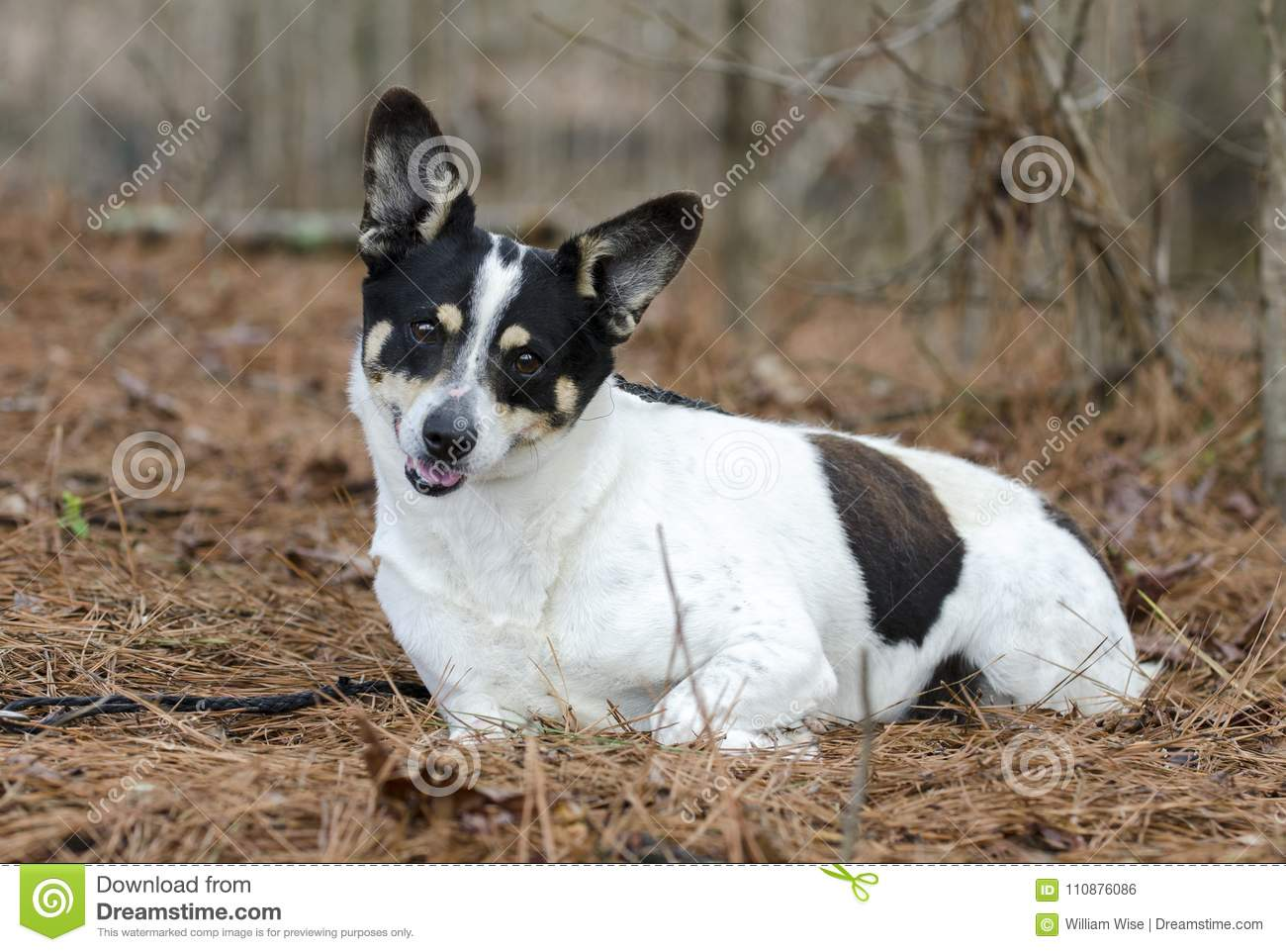 Jack Russell Terrier cattledog mixed breed dog laying in pine needle forest