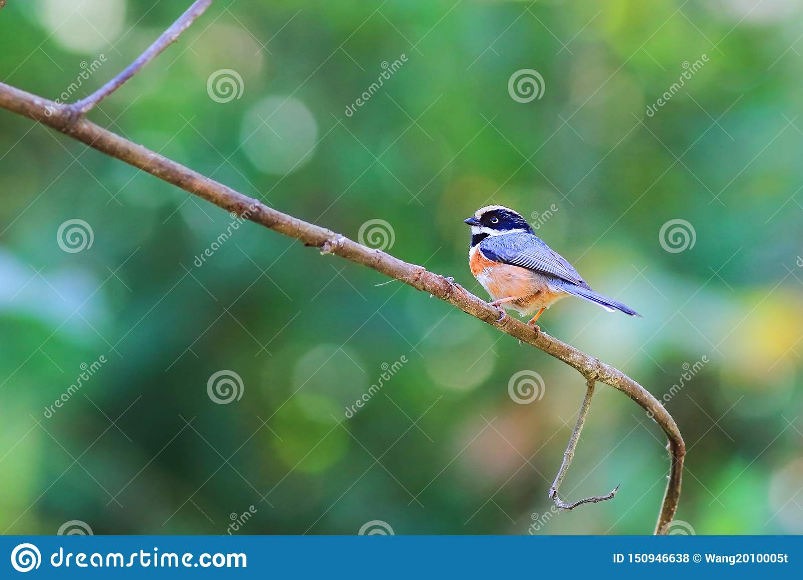 Black-throated Bushtit Very beautiful color