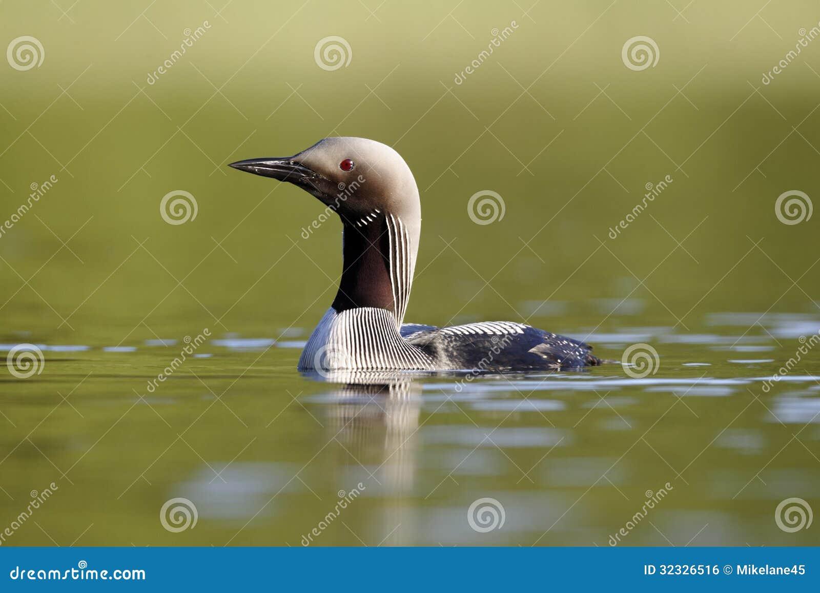 Black-throated diver, Gavia arctica