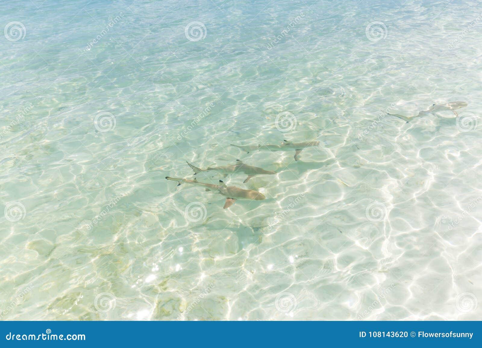 Black tip reef shark in Maldives pristine water hunting in group