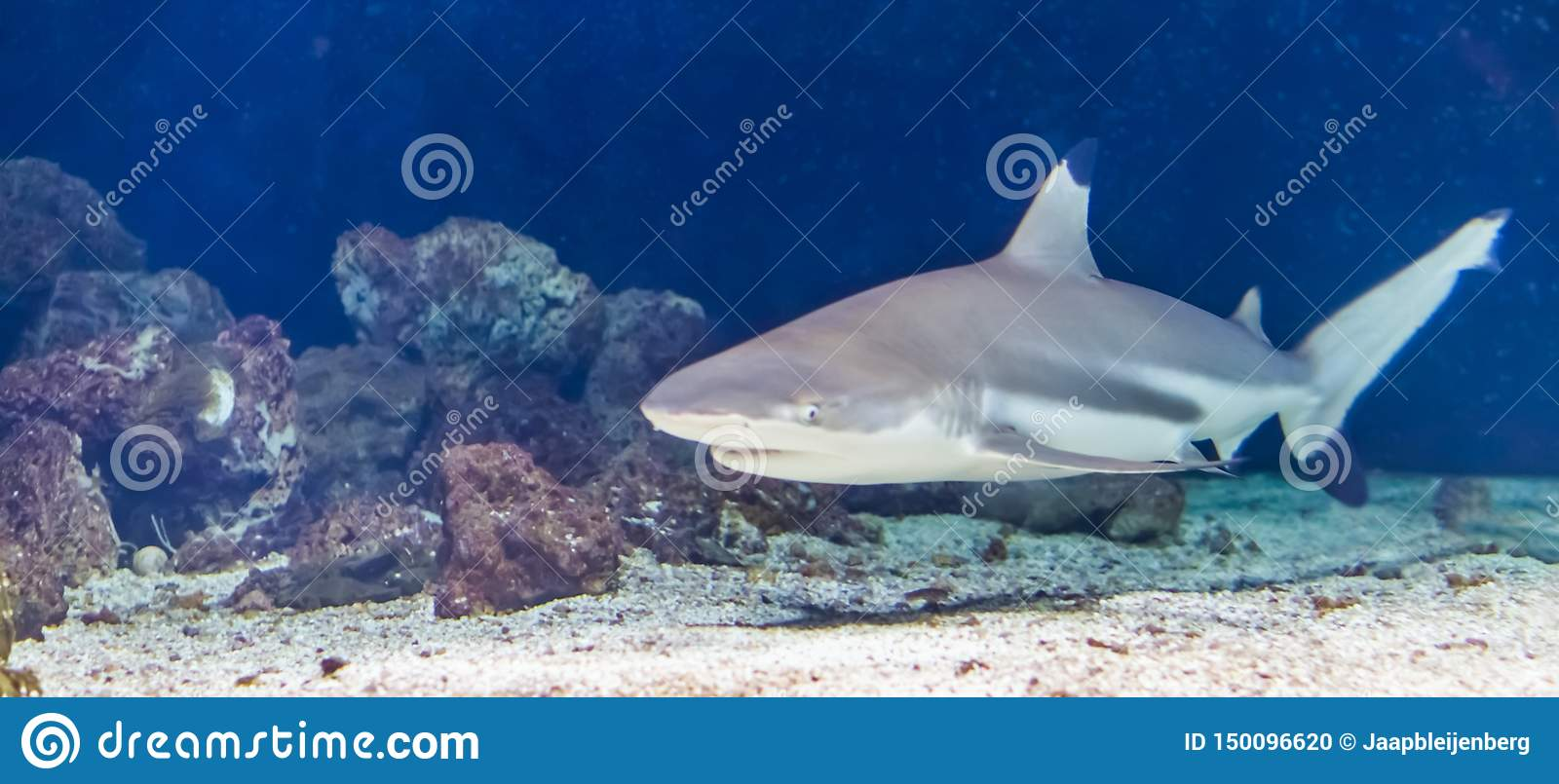 Black tip reef shark swimming under water, tropical near threatened fish specie from the indian and pacific ocean