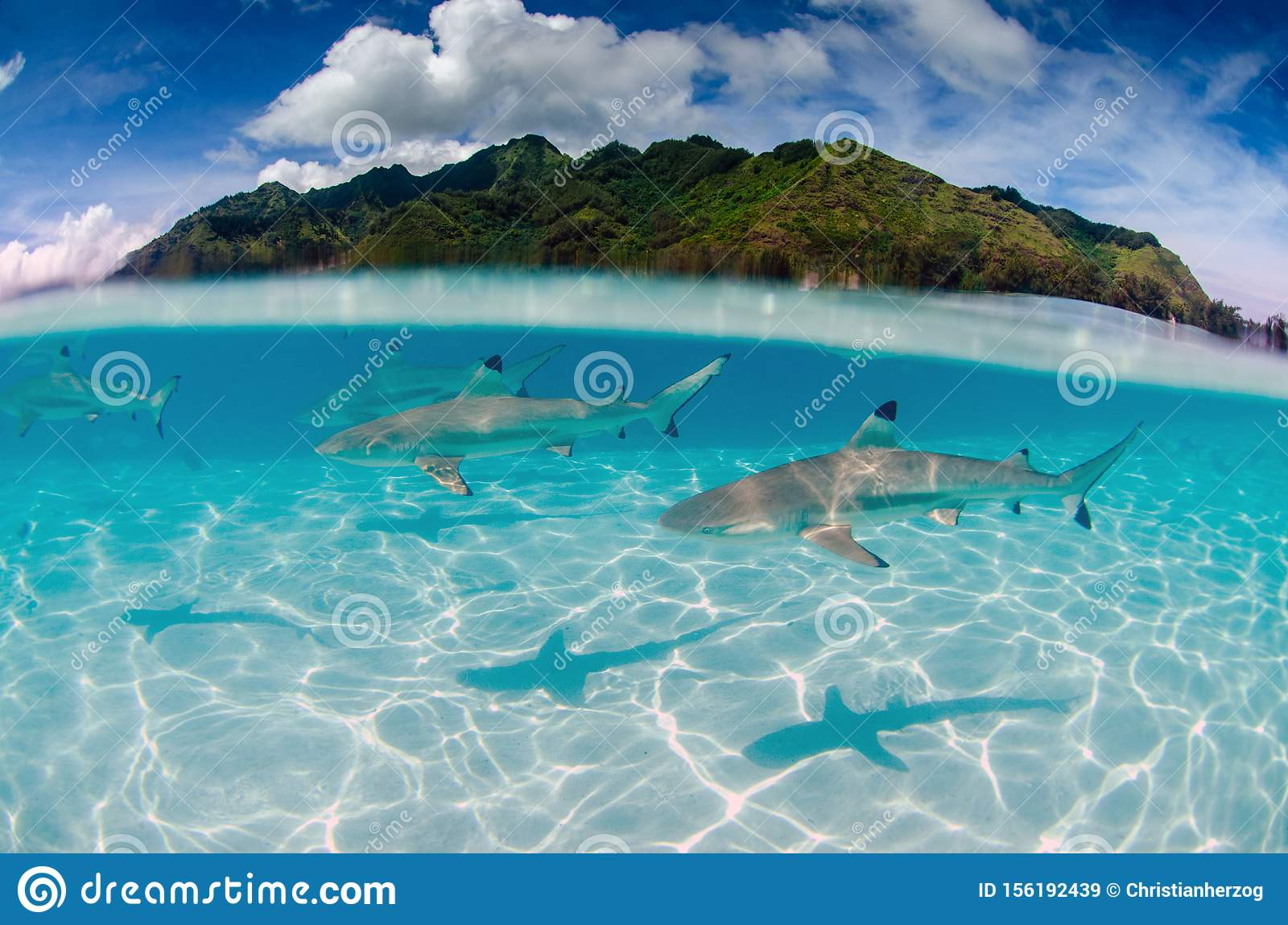 Black Tip Reef Sharks In Moorea Tahiti French Polynesia