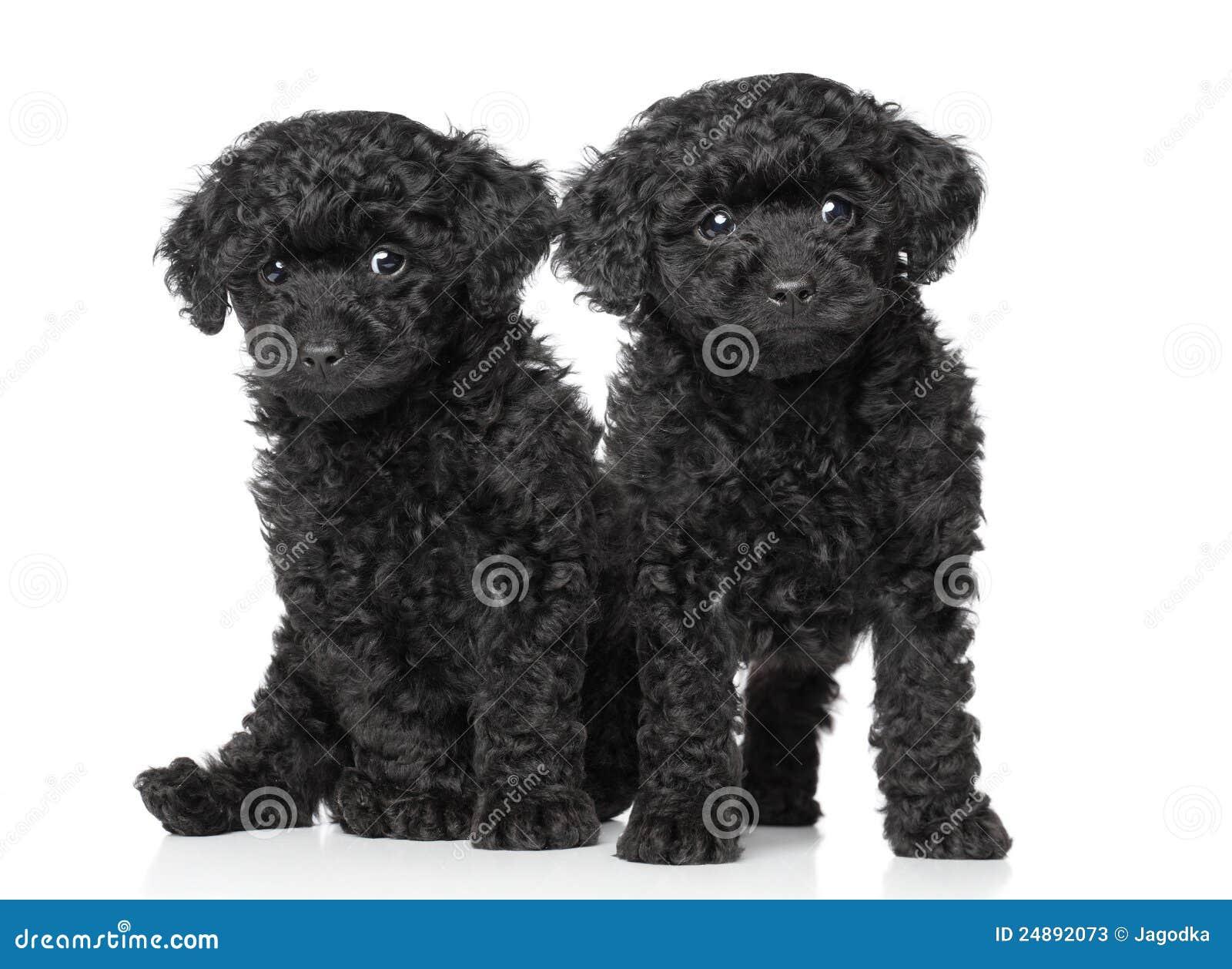Black Toy Poodle Puppies Stock Image Image Of Studio 24892073