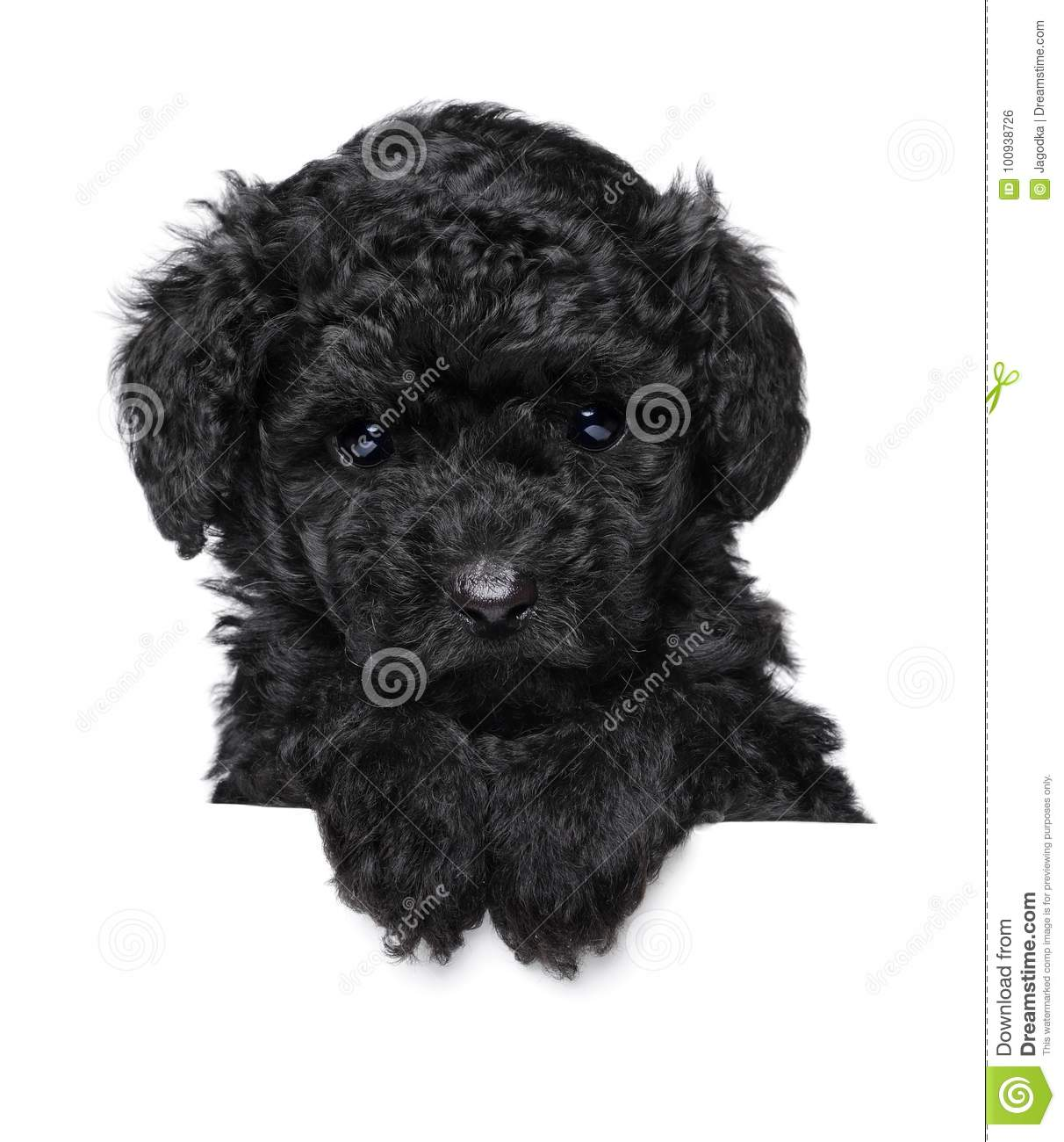 Toy Poodle Puppy Above Banner Stock Photo - Image of funny, front