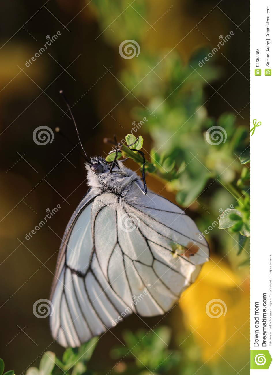Black Veined White Butterfly Stock Image - Image of hexapod