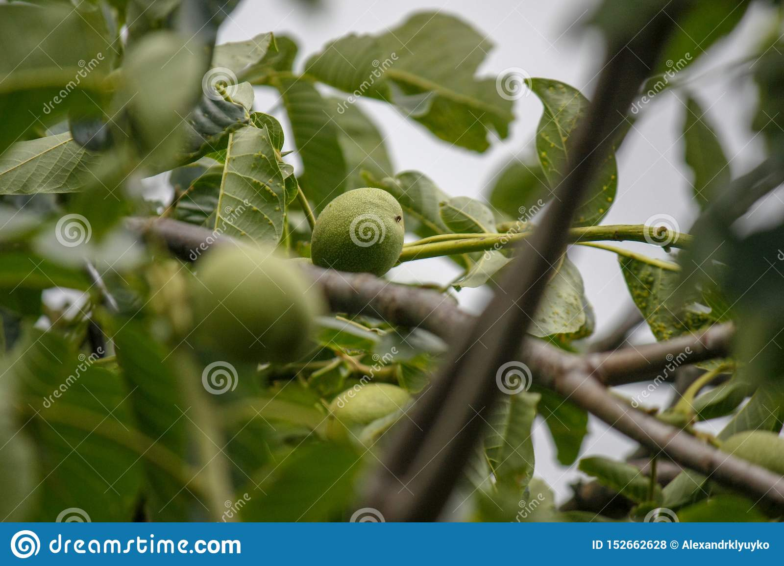 Black Walnut Tree Juglans Nigra With A Photo Of The End Of