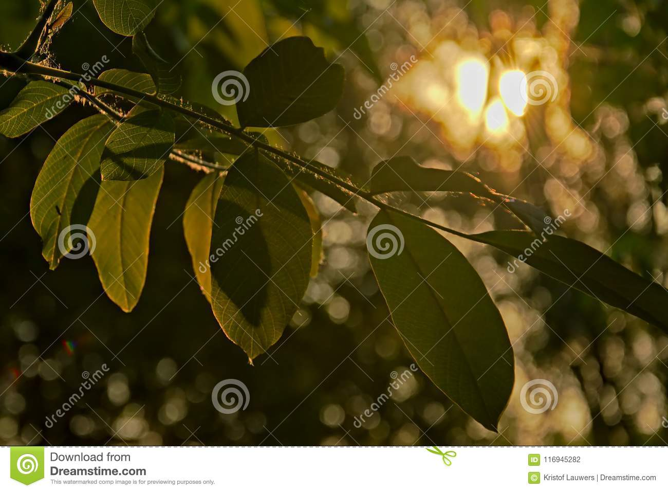 Black Walnut Tree Leafs In Evening Light Stock Photo - Image
