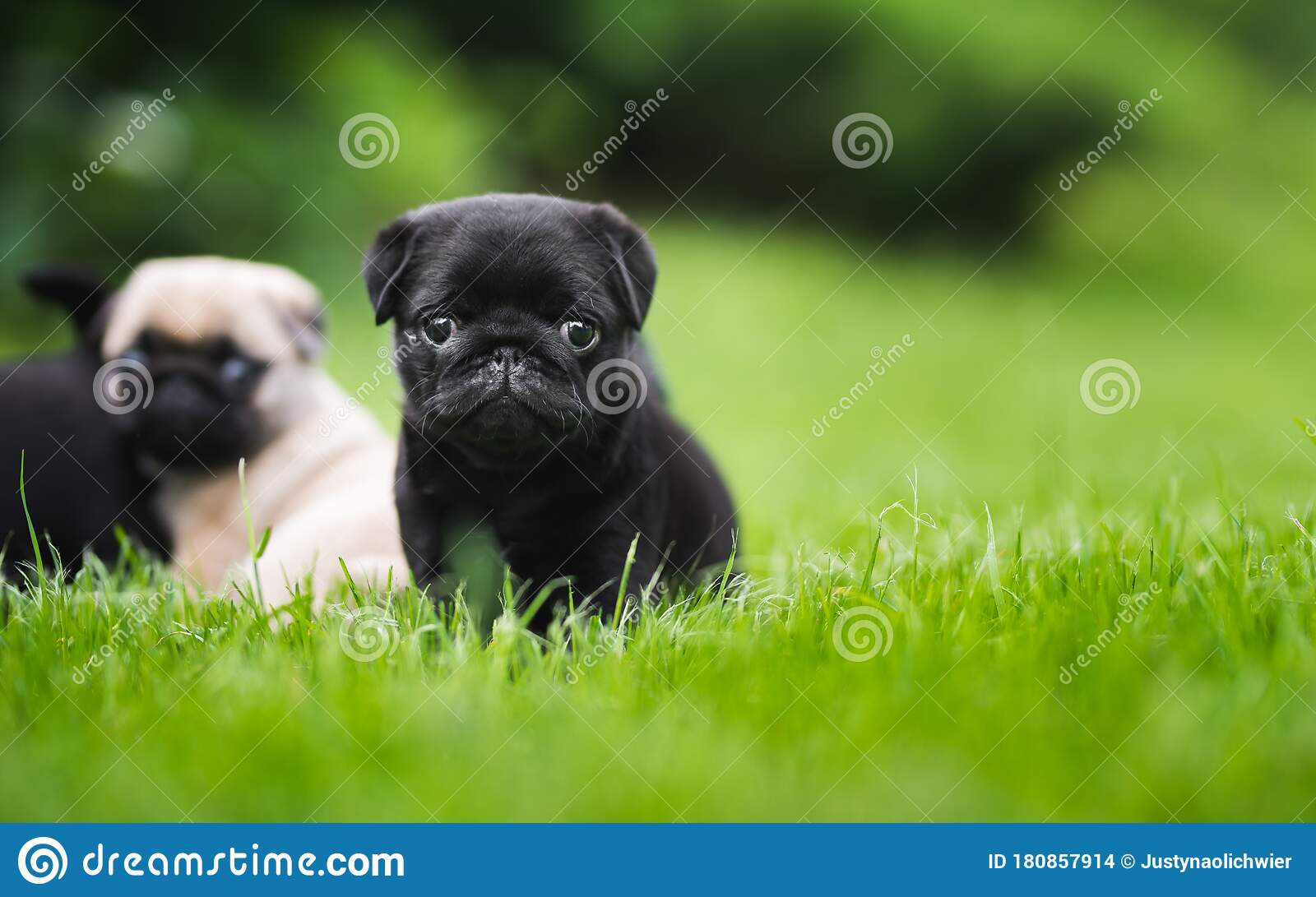 Black 6 Week Old Pug Puppy In Green Grass Portrait Stock Photo Image Of Puppy Funny 180857914