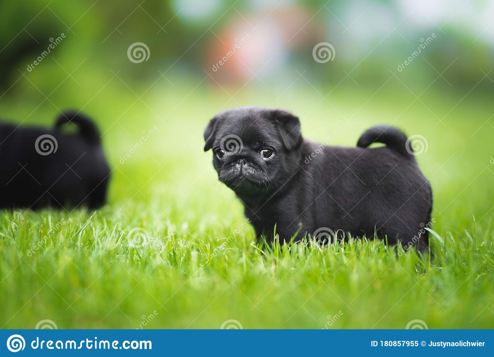 Black 6 Week Old Pug Puppy In Green Grass Portrait Stock Image Image Of Young Mammal 180857955