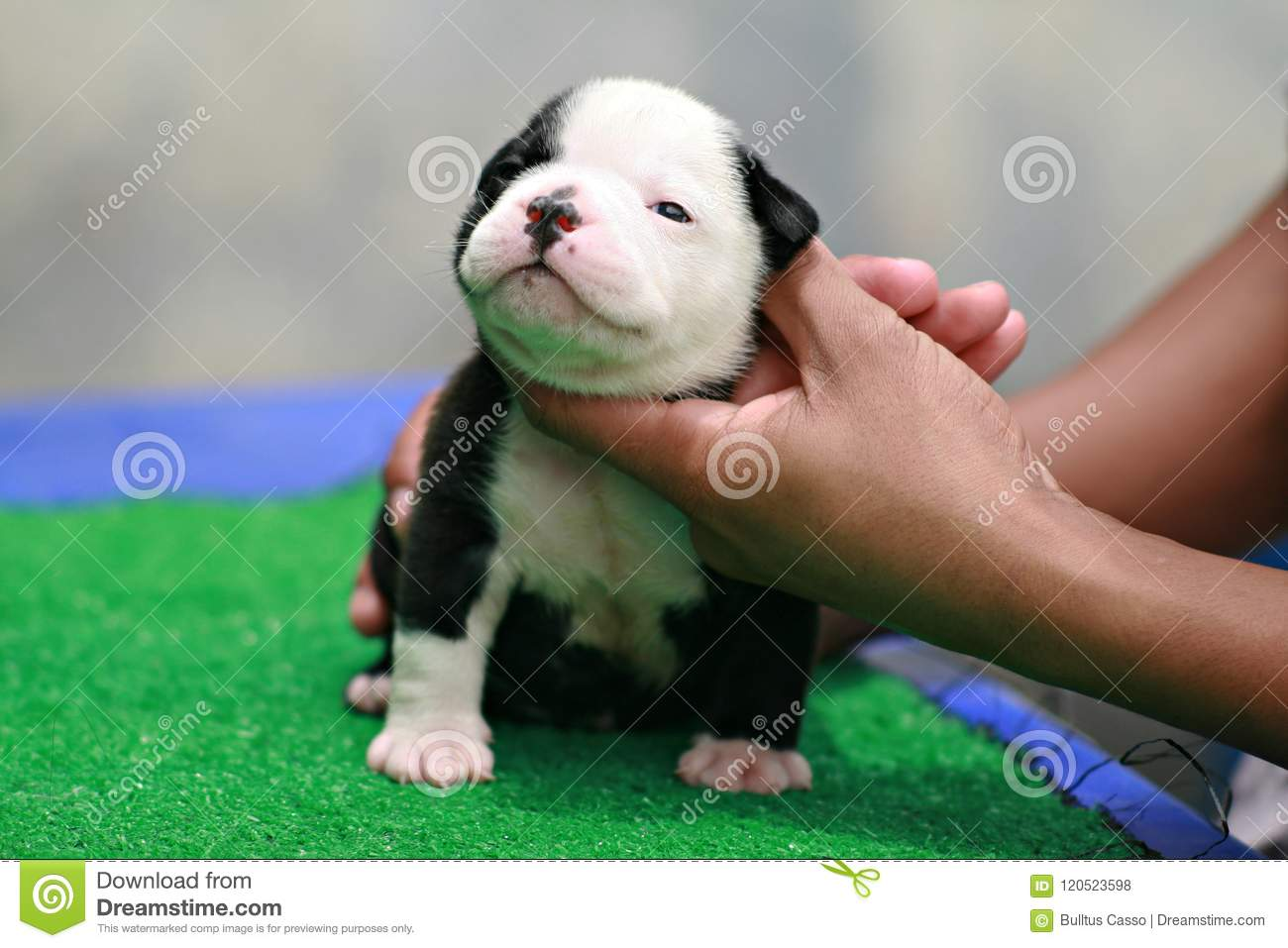 Black And White American Bully Puppy 1 Month Standing On Grass Stock