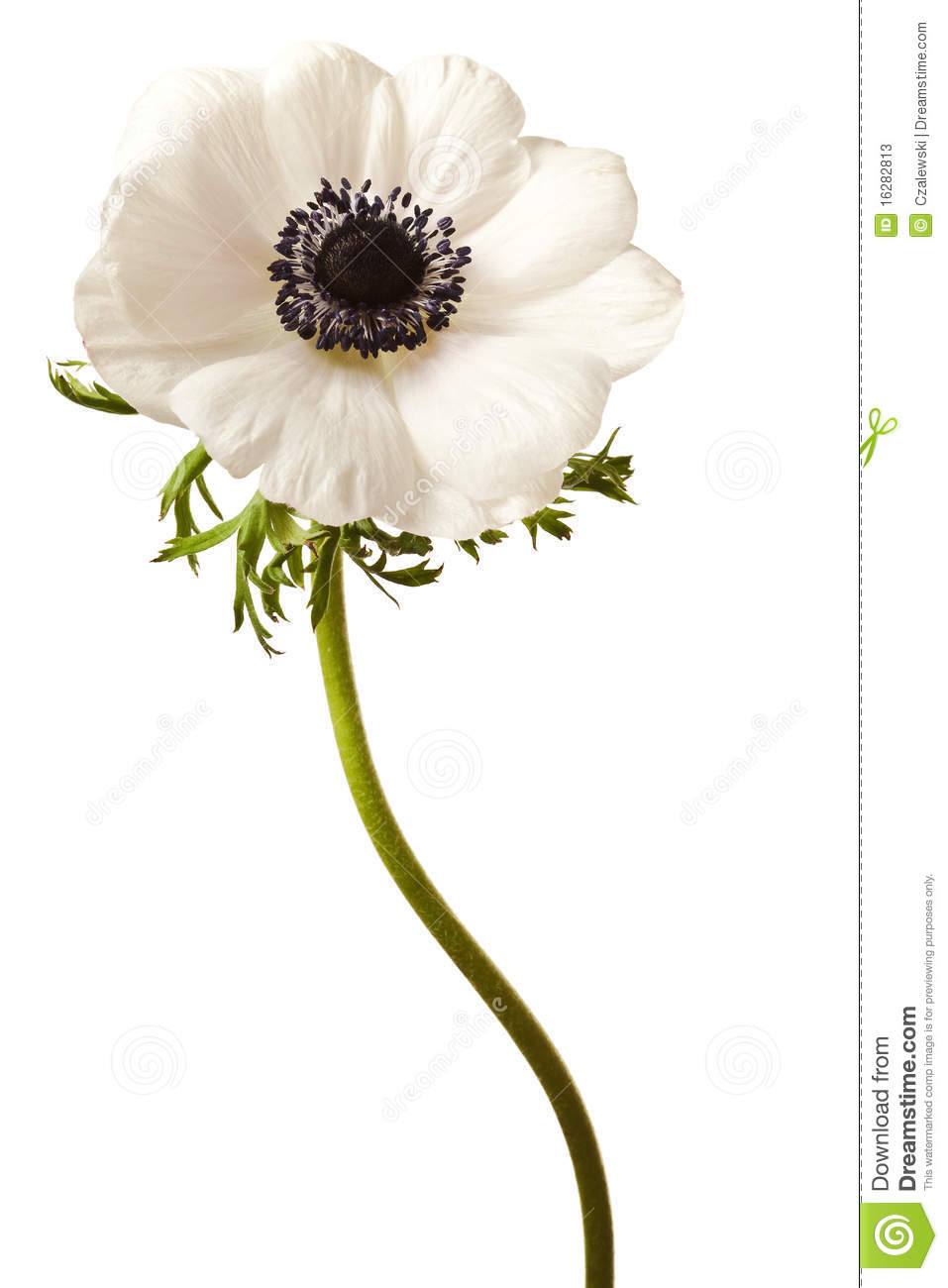 Black And White Anemone Isolated Stock Image Image 16282813