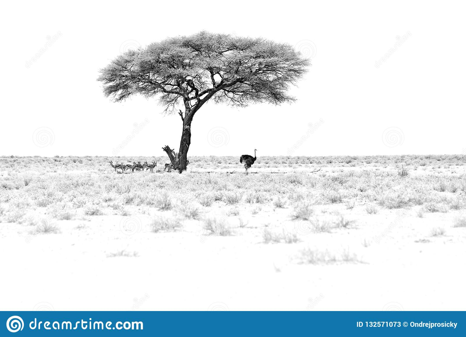 Black and white art. Dry hot day with sun in Etosha NP, Namibia. Herd of antelope springbok and ostrich hidden below the tree, in