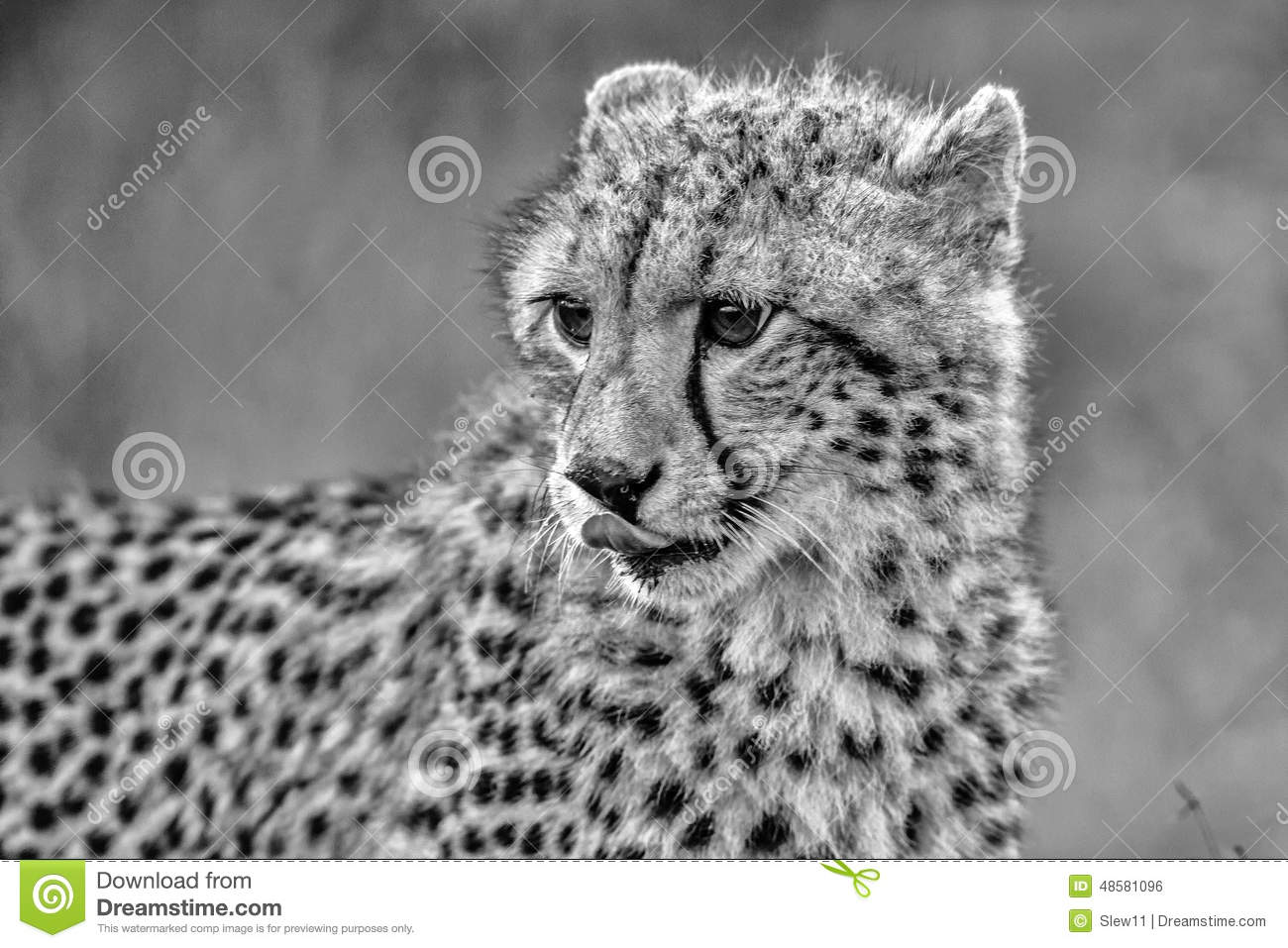 images of   Black and White Baby Cheetah in Kruger National ParkBaby Cheetah Clipart Black And White