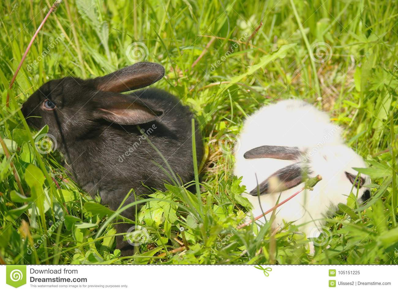 What does the white rabbits dream about