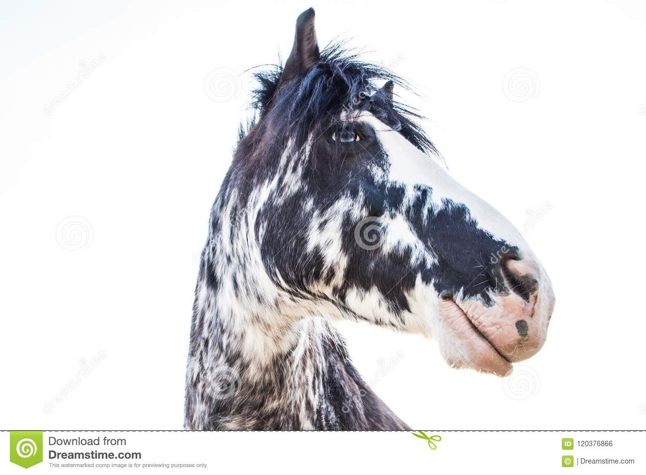 Black and White Blue Eyes Horse on a Sunny Summer Day
