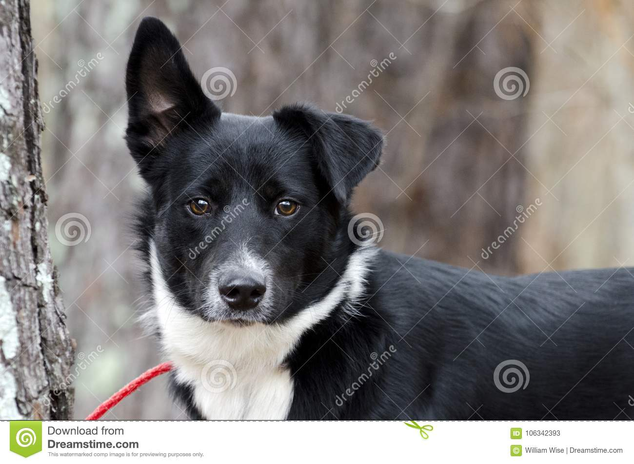 Black and white Border Collie Aussie mixed breed dog