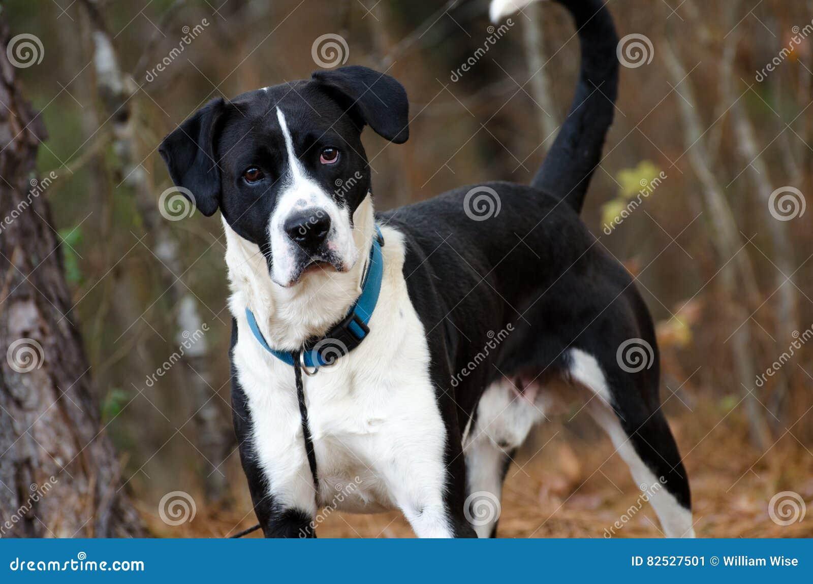 Black And White Boxer Lab Mixed Breed Dog Adoption Walton