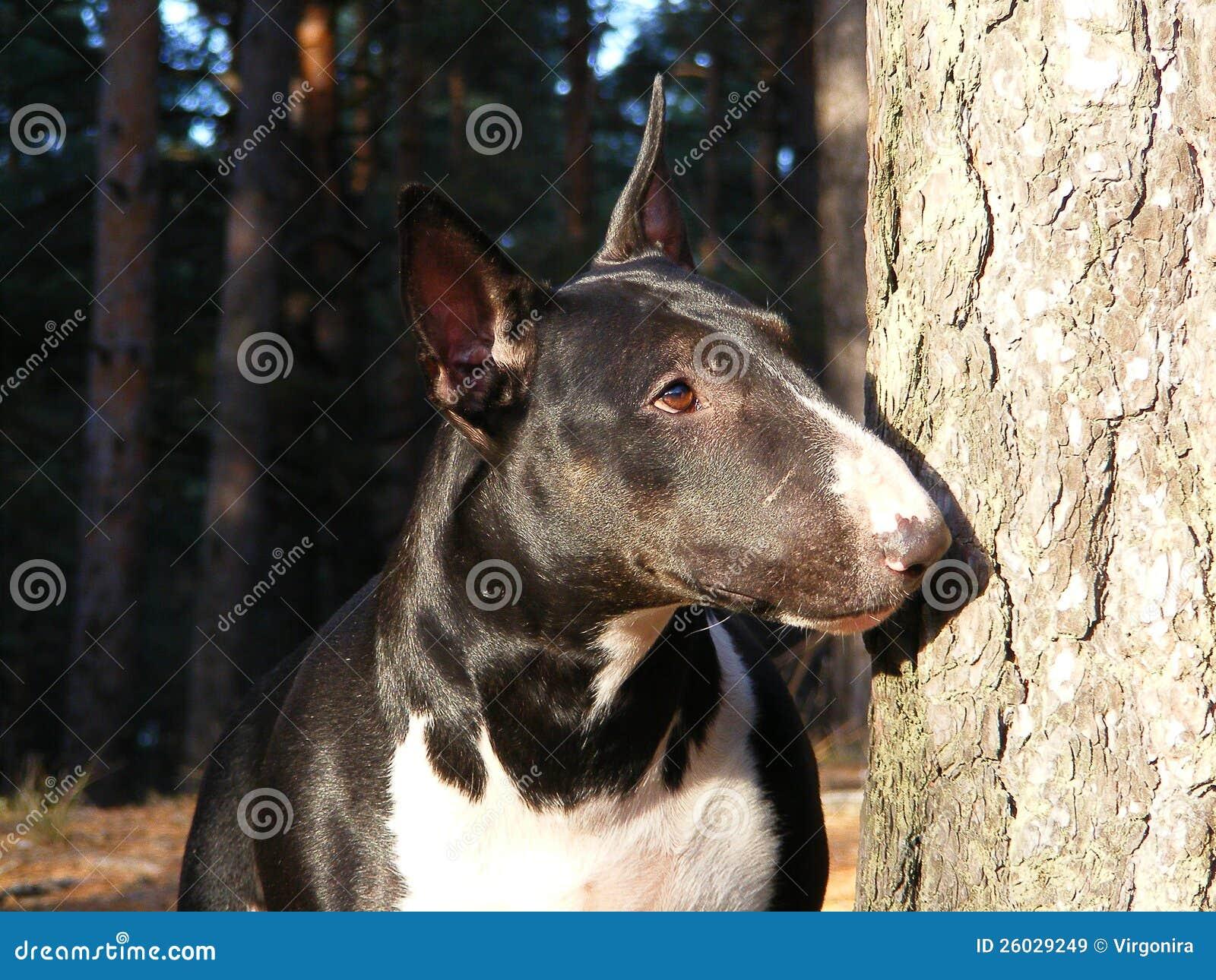 Black And White Bull Terrier Portrait Royalty Free Stock ...
