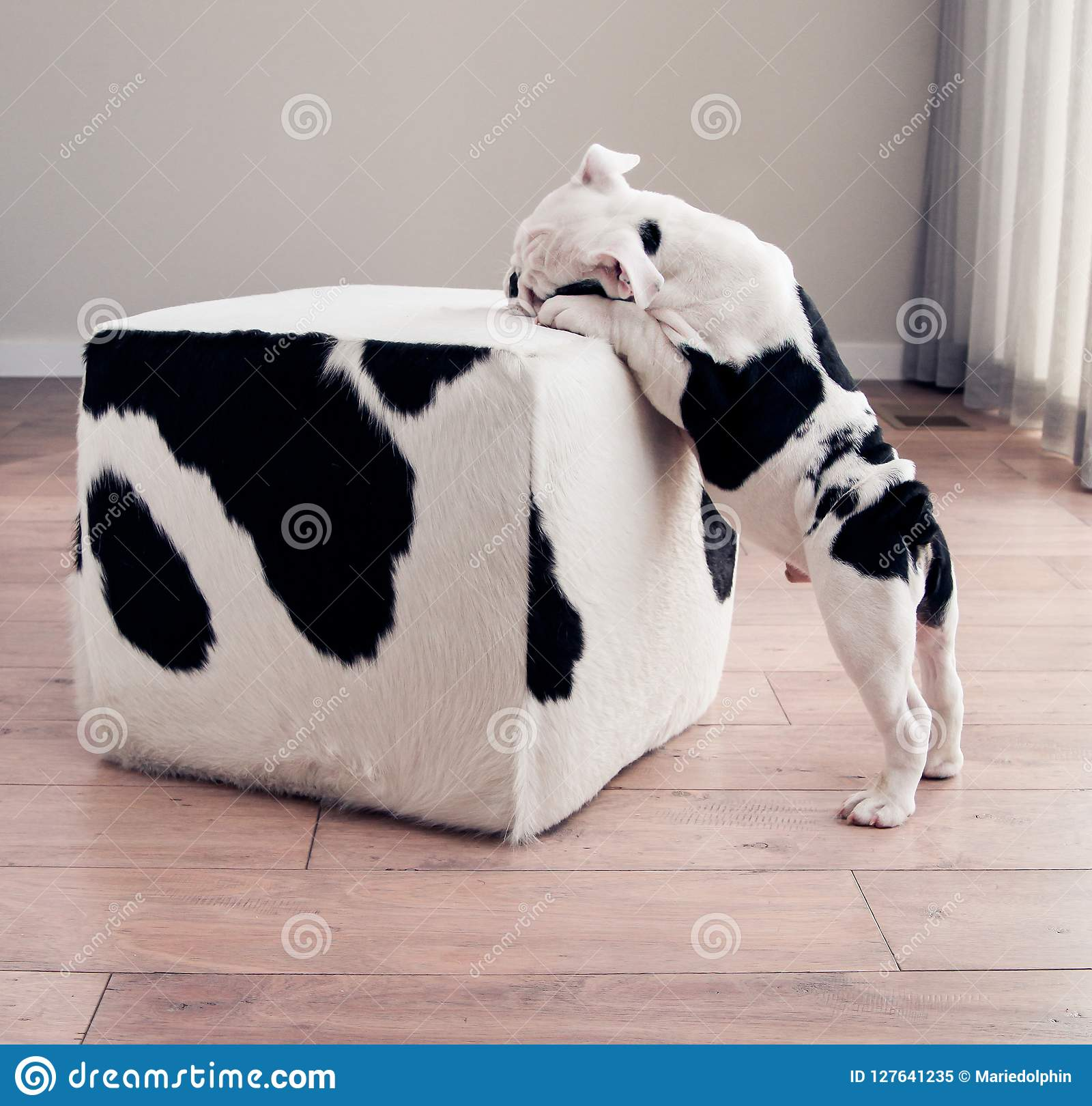 Super Black And White Bulldog Puppy Dog Leans On Cow Hide Ottoman Theyellowbook Wood Chair Design Ideas Theyellowbookinfo