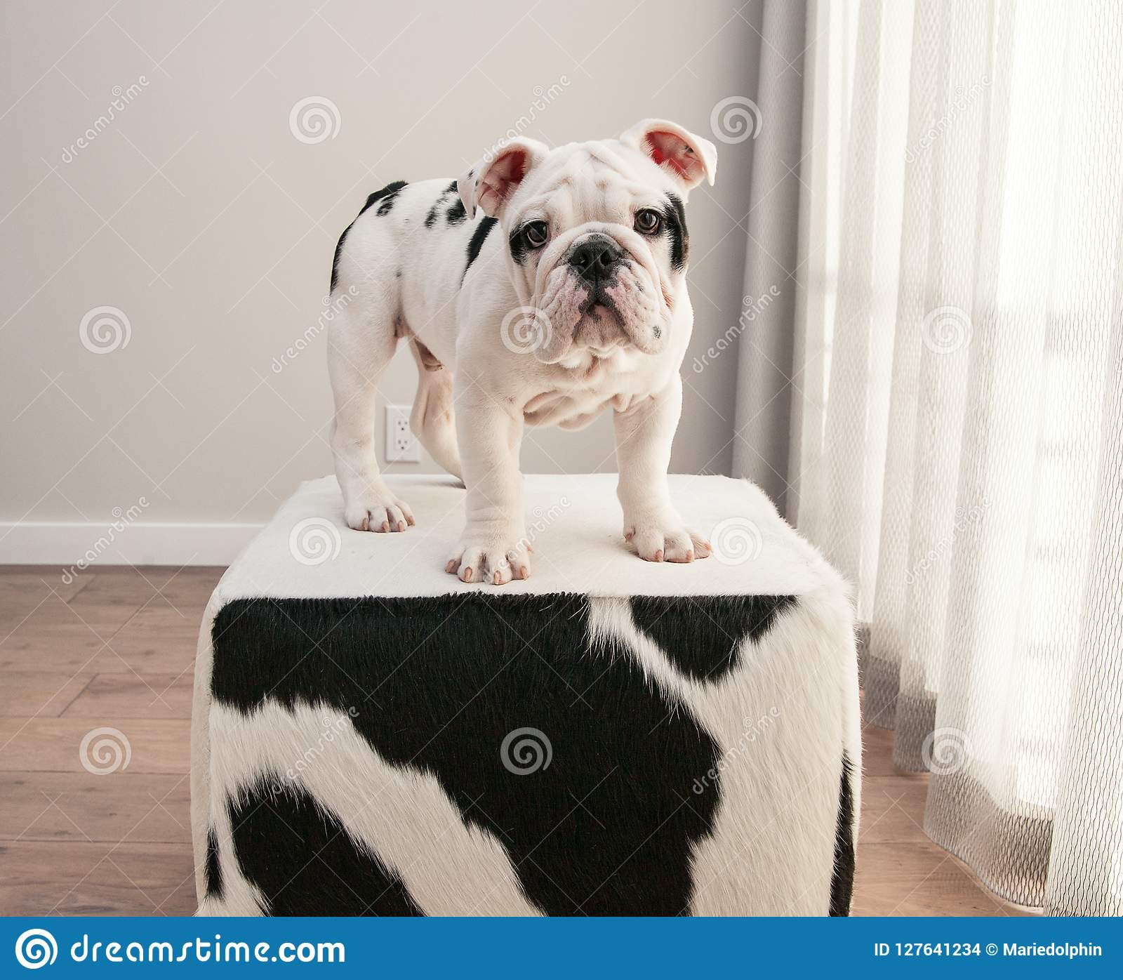 Black And White Bulldog Puppy Dog Stands On Cow Hide Ottoman Stock Photo Image Of Hide Faux 127641234