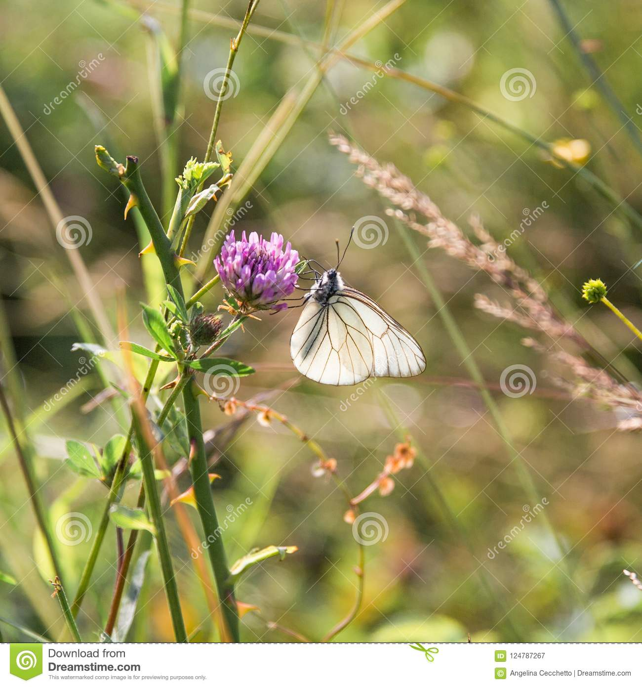 Black and White Butterfly Gathering Pollen on Lilac Flowers in G