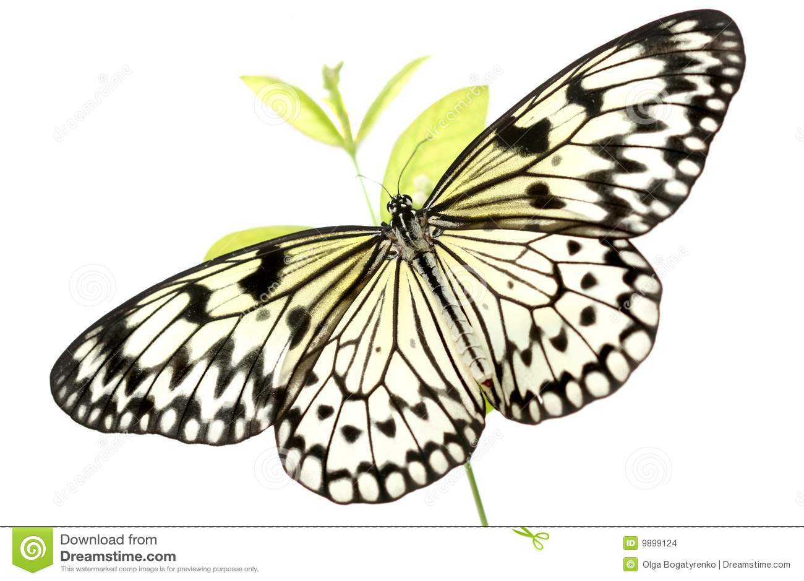 Black and white butterfly idea leuconoe on white stock for White paper butterflies