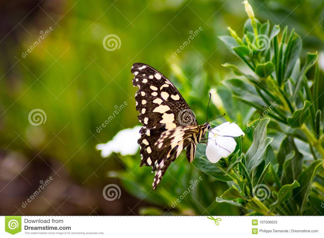 Black And White Butterfly On A Pink Flower In The Masai Mara Par