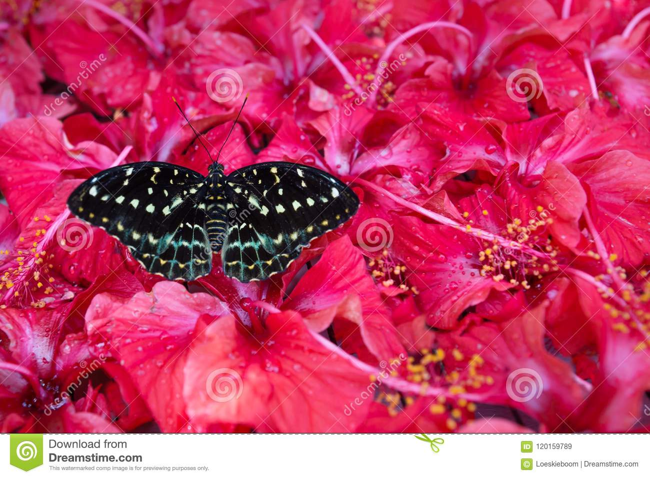 Black and white Butterfly sitting in Hibiskus blossoms, Kuala Lumpur, Malaysia