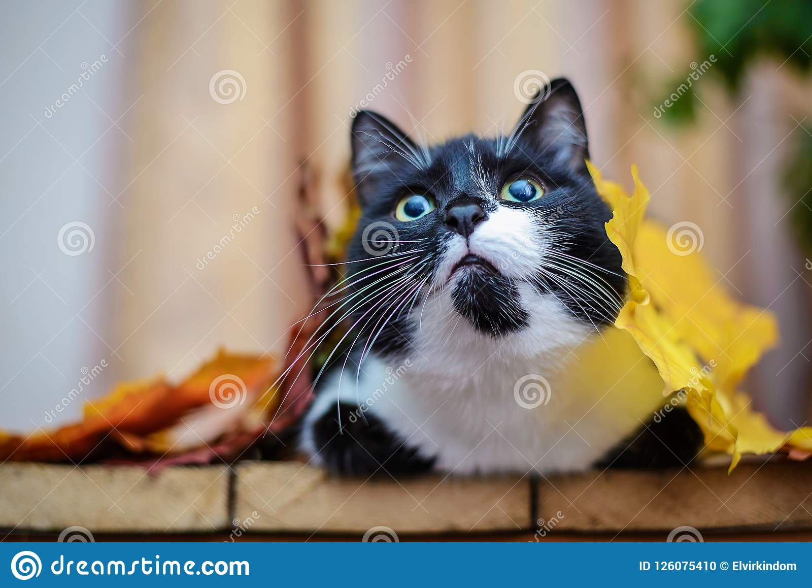 Black and white cat with autumn leaves