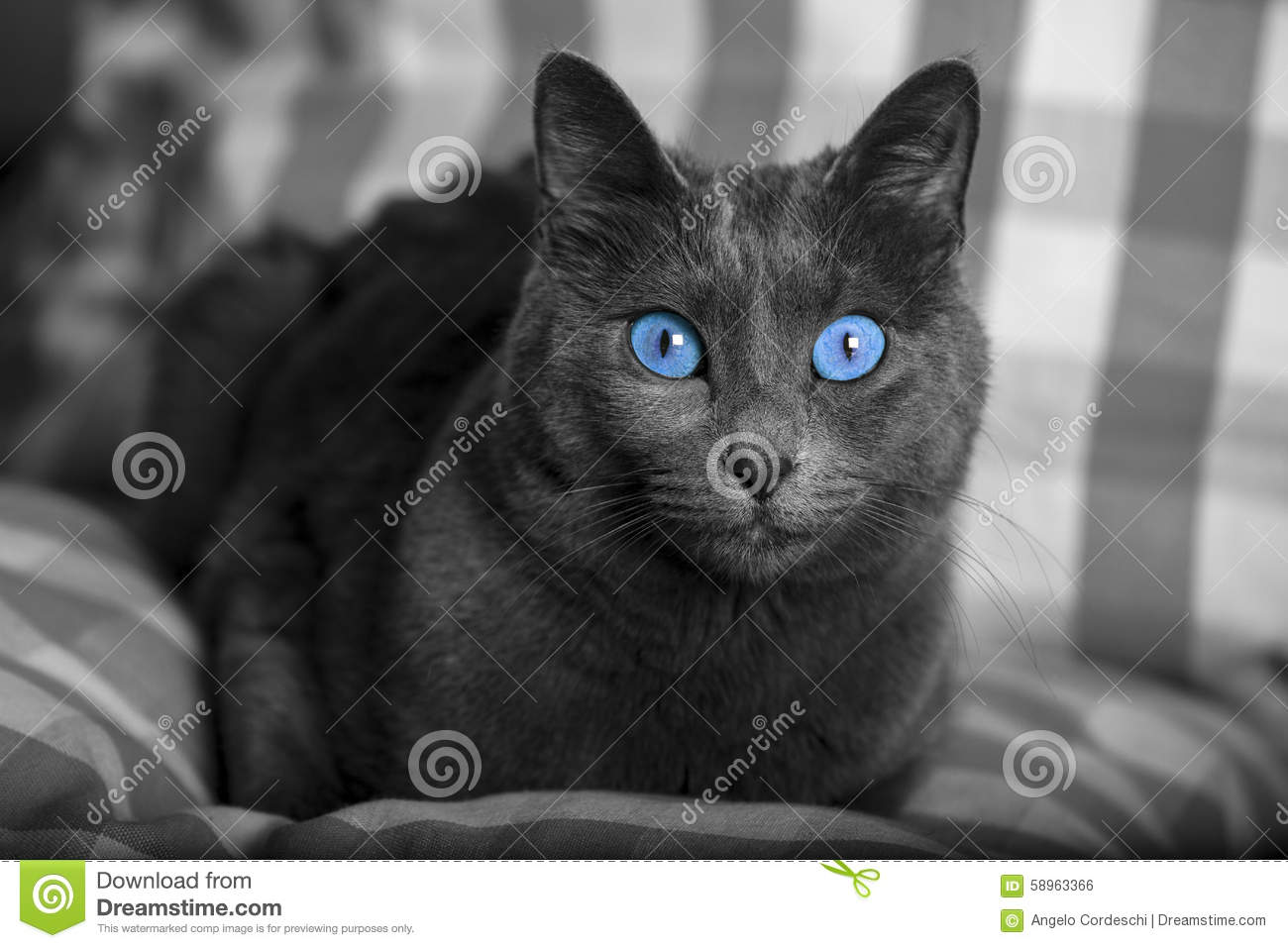 Black And White Cat Portrait With Blue Eyes Carthusian Cat Stock