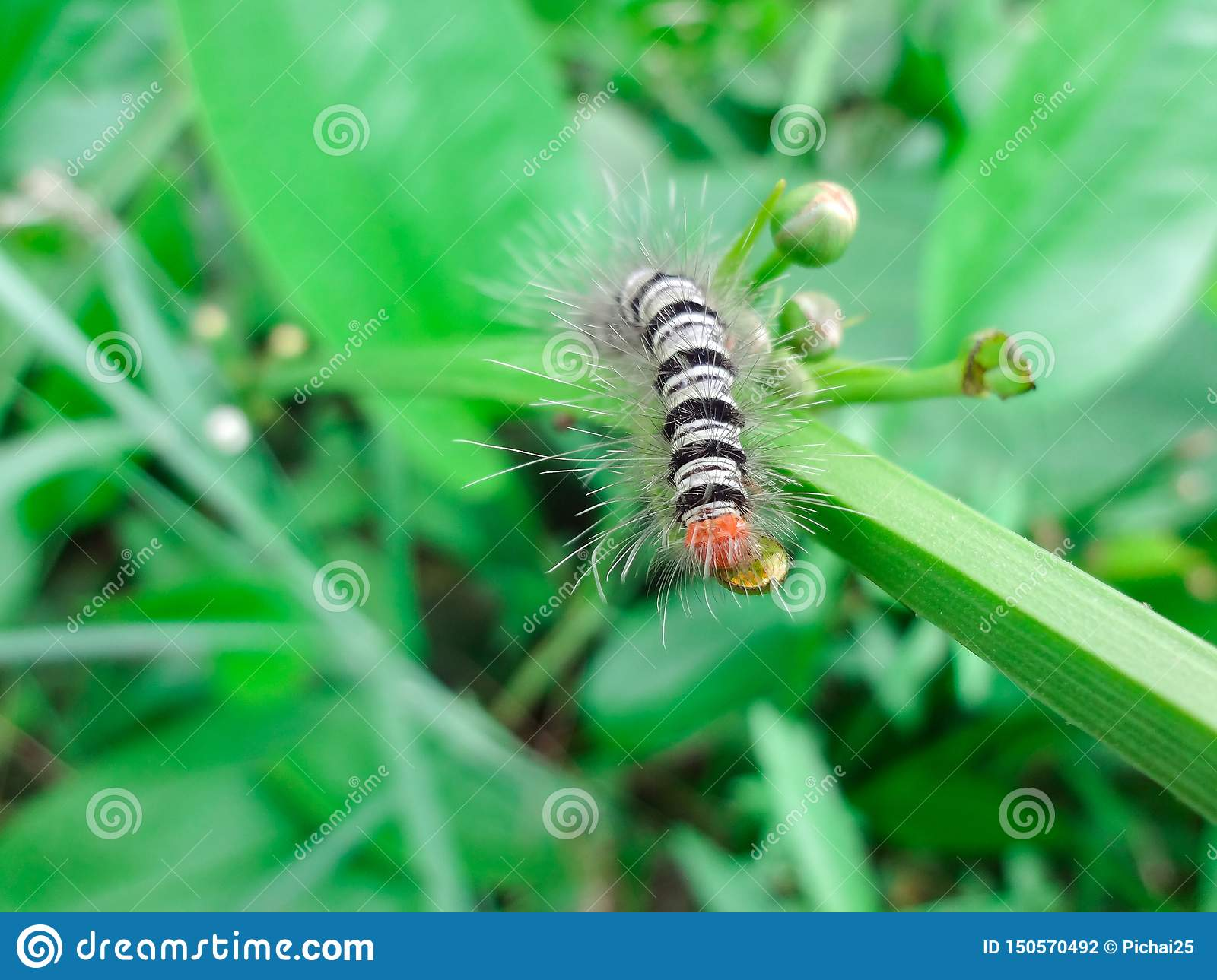 Black-and-white caterpillar Eating green flowers that are not blooming