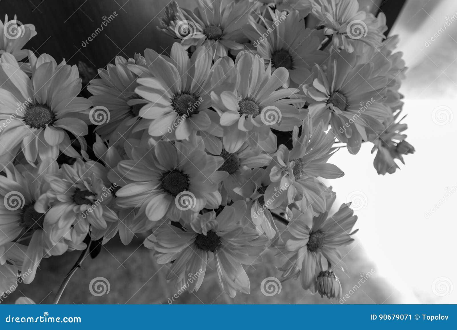 Black And White Chrysanthemum Flowers Stock Image Image Of Vivid